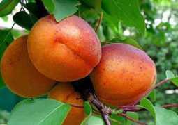 Абрикос краснощекий и Северный Триумф: характеристики сортов и выращивание